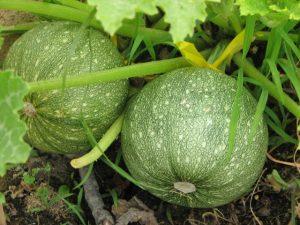 zucchine verdi tonde